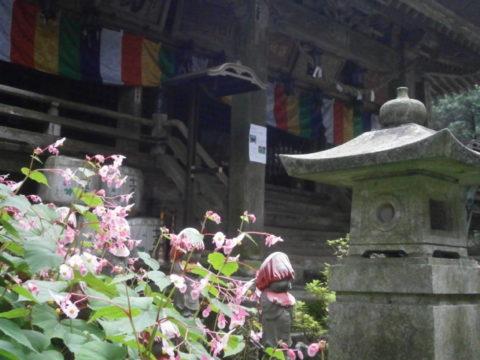 本堂の左側に咲くシュウカイドウ