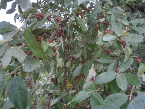 市貝町グミの木2
