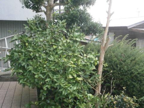我が家の柚の木