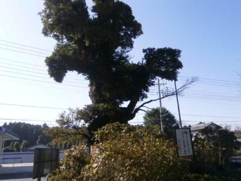 日本寺の椎