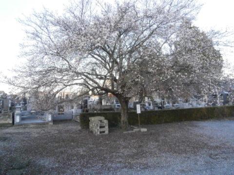 壬生町壬生氏菩提寺常楽寺四季桜