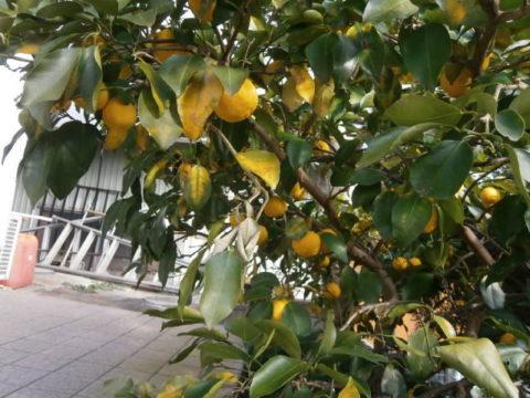 2016黄色に色づいた柚