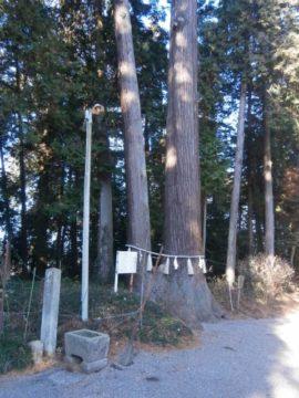 天然記念物の杉