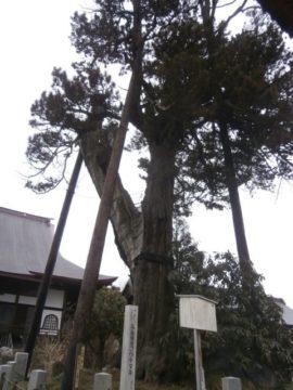 上三川長泉寺コウヤマキ