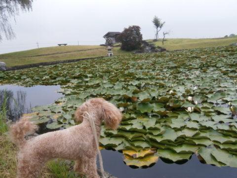 京の泉公園蓮池と水車