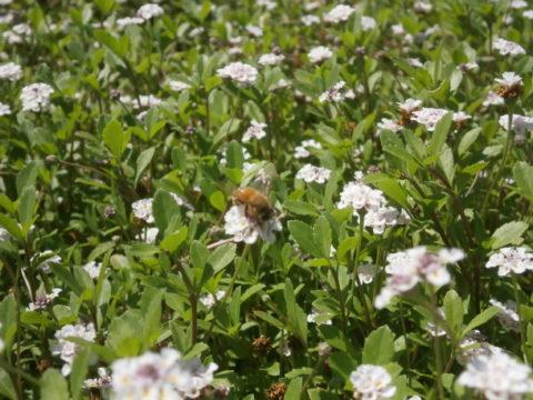 筑西市五行川堤防公園ミツバチ