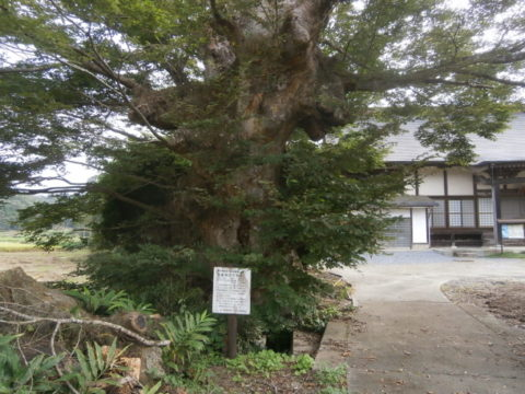 茂木町安楽寺境内の欅