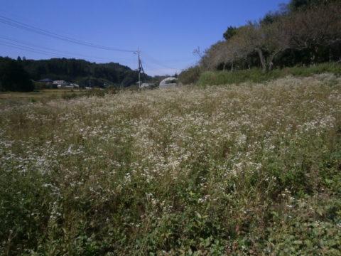 昌雲寺の野菊