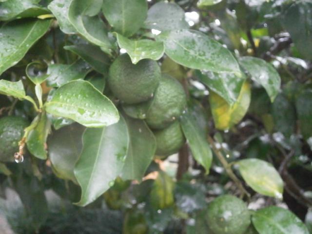 我が家の柚