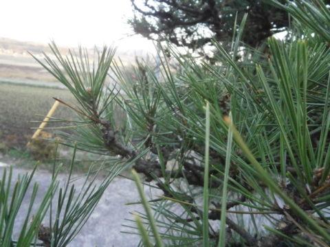 2016松の剪定各枝に芽を一本