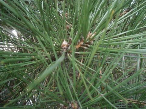 2016松の剪定各枝に芽を3本の例