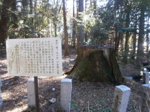 姥が池の杉
