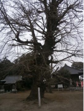 上三川町満願寺かやの木